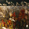 すすき,Japanese silver grass