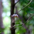 旅する蝶、アサギマダラ。日本〜台湾2000Kmを飛ぶのだとか。舞っていると、浅葱色と赤の星条旗がはためいているよう。