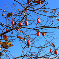 里の道にて 柿(たぶん、しぶい)