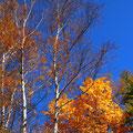 麓のみごとな紅葉 空の青がちがう