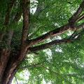 飛騨国分寺。樹齢1200年以上の大銀杏