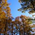 山道へ カラマツの黄金色の紅葉