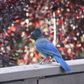 The guest House terrace,a blue bird !