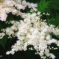 珍珠梅 和名 ニワナナカマド giant false spiraea 別名 珍珠梅 (珍-noble 珠-pearl 梅-Japanese apricot)