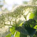 ミズキ:トキメキの木