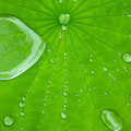 水をはじく、葉。泥から咲く、花。