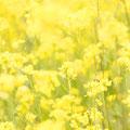 菜の花:あたたかな、実直なこころ