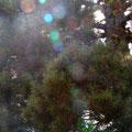 """キャッスル湖の登山道にて、純子さんの木 On the Castle Lake  Trail.I ,a Junko's wonderful  tree""""."""