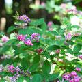 萩,Hagi,Japanese bush clover,万葉集で最多の142首詠まれた花(梅が118、桜は40首)