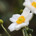秋名菊(貴船菊),Japanese anemone(Kibune-Giku; That is comes out  around  Kibune-Jinja in Kyoto )
