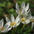 ゼフィランサス,rain lily