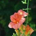 ノウゼカズラ:おもいっきり咲く、伸びる、鮮やかに。おもいっきりは、まぶしい。