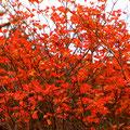 ドウダンツツジの赤。日がさしていなくても燃えるよう。