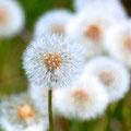 たんぽぽって、花が終わるとぐんぐん背が伸びるのね!