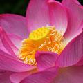 散っていく花に強烈な生命(力、美)を感じたのは、蓮がはじめてでした。