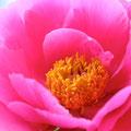 芍薬:力をぬいて、自分の美しさをたのしむ