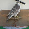 Banco pared de 80cm .Prima 3-4 Gyr x Saker falcon