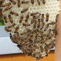 Bien Bienen