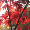 川口市安行 小林紅葉園にて どこに秋。ここにきた
