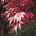 川口市安行 小林紅葉園にて 日がいいよね。