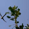 Schwanzmeise im Jagdflug auf Insekt