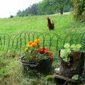Les poules vadrouillent en liberté, leurs oeufs sont très savoureux