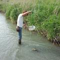 相川に仕掛けた魚用ワナを確認