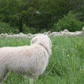 Momo hat die Herde im Blick