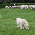 typische Gangart eines Schafpudel