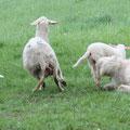 Momo zeigt den gewünschten Griff und lässt sofort wieder vom Schaf ab