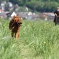Fuchs in der Furche