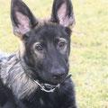 25 februari 2012 - Qby vom Grubenländer Schupo - 4 maanden oud