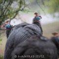 Drakensberge: Helmeted Guineafowl (Helmperlhuhn)