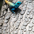 Makakatana Bay Lodge: Blue-throated Agama (Blaukehlagame)