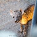 Mashatu: Spotted Hyena (Tüpfelhyäne)