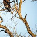 KNP: Bateleur Eagle (Gaukler)