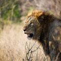 KNP: Stolzes Löwenmännchen