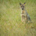 Im Regen... Side-striped jackal (Streifenschakal)
