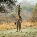 Katavi NP: Giraffen