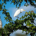 Duma Tau Camp: Cattle Egret (Kuhreiher)