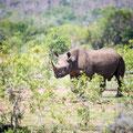 Mkhaya GR, Swaziland: Black Rhino (Spitzmaulnashorn)
