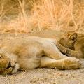 Katavi NP: Löwenfamilie mit Jungtieren