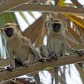 Katavi NP: Grüne Meerkatzen (Vervet Monkey)
