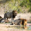 KNP: Durstige Löwenmännchen