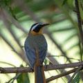 KNP: White-browed Robin-chat (Weissbrauenrötel)