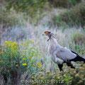 Makakatana Bay Lodge: Secretary Bird (Sekretär)
