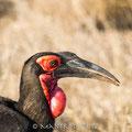 KNP: Southern Ground Hornbill (Südlicher Hornrabe)