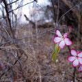 Selous GR: Wüstenrose (Desert Rose)