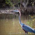 Makakatana Bay Lodge: Goliath Heron (Goliathreiher)