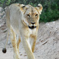 KNP: Löwin auf dem Abendspaziergang